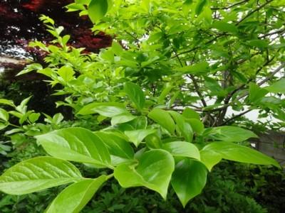 2014年4月29日の庭の柿の葉